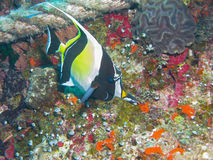 Moorish Idol, Great Barrier Reef, Australia Stock Photos