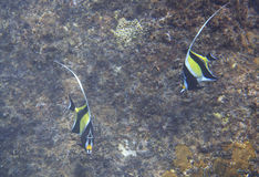 Moorish idol Stock Photos