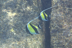 Moorish idol Royalty Free Stock Images