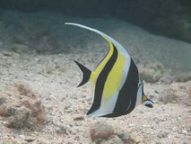Moorish Idol (kihikihi) Royalty Free Stock Image