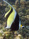 Moorish Idol from Polynesia Stock Images