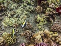 Moorish idol. Swimming in a coral reef Royalty Free Stock Image
