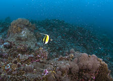 Moorish Idol swims across vibrant coral reef Royalty Free Stock Photography
