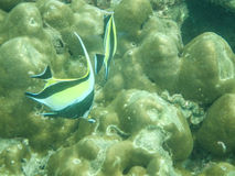 Moorish idol tropical fish Stock Image