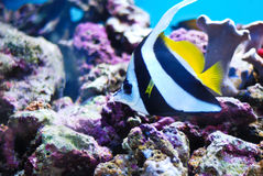 Moorish Idol, Zanclus Cornutus Royalty Free Stock Images