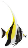 Moorish Idol. Zanclus cornutus Royalty Free Stock Photography