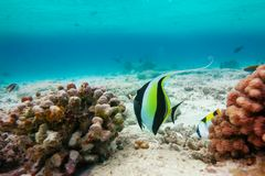 Moorish idol( Zanclus cornutus) Stock Photo