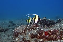 Moorish Idols Royalty Free Stock Photos