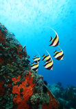 Moorish Idols Stock Images