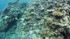 Moorish Idols and Other Reef Fish Underwater. Moorish Idols and other reef fish feed on a coral reef in Palau. This remote island destination is home to a great stock video footage