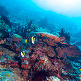 Moorish Idols and Sea Bottom of Ecosystem Royalty Free Stock Photography