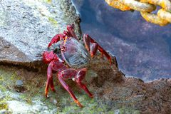 Moorish red legged crab (Grapsus adscensionis), a common crustacean of Gran Canaria, Canary Islands, Spain. Close up royalty free stock image