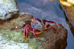Moorish red legged crab (Grapsus adscensionis), a common crustacean of Gran Canaria, Canary Islands, Spain stock photo