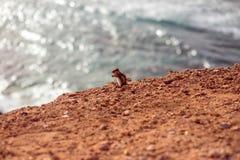 Moorish squirrel on Fuerteventura island Royalty Free Stock Photos