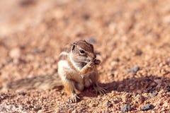 Moorish squirrel on Fuerteventura island Stock Photo