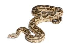 Moorish viper - Macrovipera mauritanica Stock Photo