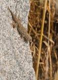 Moorish Wall Gecko climbing on rock. A Moorish Wall Gecko Tarentola mauretanica climbs  head down on a granite rock in southern Europe Stock Photos