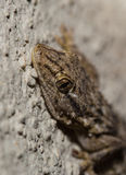 Moorish Wall Gecko portrait Royalty Free Stock Photos