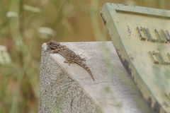 Moorish Wall Gecko Stock Photos