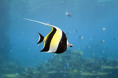 MoorishIdol. Moorish Idol (Zanclus cornutus) the type of fish known as Gill in Finding Nemo Royalty Free Stock Photos