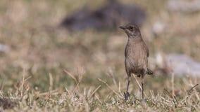 Moorland Chat in Meadow. Moorland Chat, Cercomela sordida, is standing in prairie at Sululta, Ethiopia, Africa stock photo