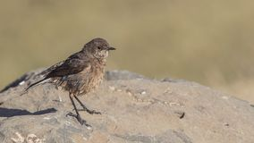 Moorland Chat Perches on Rock. Moorland chat, Cercomela sordida, perches on rock in Sululta, Ethiopia, Africa stock image