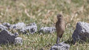 Moorland Chat on Rock. Moorland Chat, Cercomela sordida, is standing on a piece of rock in meadow at Sululta, Ethiopia, Africa royalty free stock photography