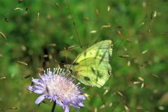 Moorland Clouded Yellow Royalty Free Stock Photos