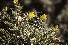 Moorland Gorse Bush Royalty Free Stock Images