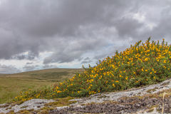 Moorland Granite and Gorse. Granite and Gorse two things that everyone expects to see while walking the hills of Dartmoor National Park Stock Image