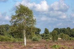 Moorland landscape with vegetation such as the birch tree in the foreground and pine tree forest in the background stock photo