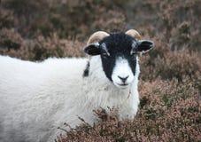 Moorland-Schafe Lizenzfreies Stockfoto