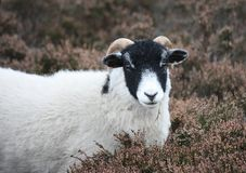 Moorland Sheep Royalty Free Stock Photo