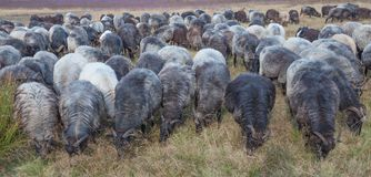 Moorland Sheep Herd,Lueneburg Heath,Lower Saxony,Germany Royalty Free Stock Image