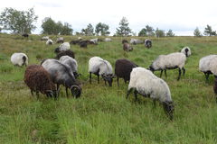 Moorland sheep on high moor meadow, Black Forest, Germany Stock Photography