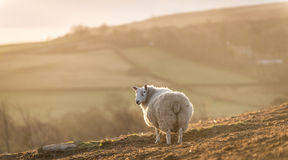 Moorland Sheep. A solitary sheep at dawn, looking over a North Yorkshire valley Stock Photos