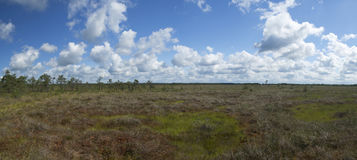 Moorland in the summer. A beautiful colorific bog in eastern Europe (Russian Federation, Kaliningrad region), summer time Stock Photography