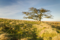 Moorland tree Royalty Free Stock Photo