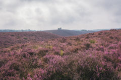 Moorland in the Veluwe. Stock Photography
