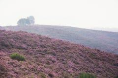Moorland in the Veluwe. Stock Image