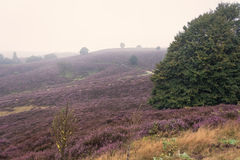 Moorland in the Veluwe. Royalty Free Stock Photography
