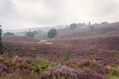 Moorland in the Veluwe. Royalty Free Stock Images