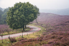 Moorland in the Veluwe. Royalty Free Stock Photos