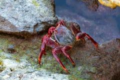 Moorse krab met rode poten (Grapsus-adscensionis), gemeenschappelijke schaaldier van Gran Canaria, Canarische Eilanden, Spanje stock foto's
