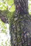 Moos auf Baum Lizenzfreie Stockbilder