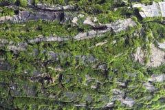 Moos auf Baum Lizenzfreie Stockfotos