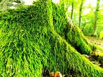 Moos auf Baum Lizenzfreies Stockbild