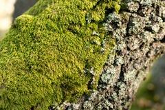 Moos auf Baumkabel Nahaufnahme Stockbild
