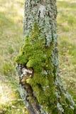 Moos auf Baumkabel Nahaufnahme Stockbilder