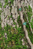 Moos auf Baumrinde Stockfotos